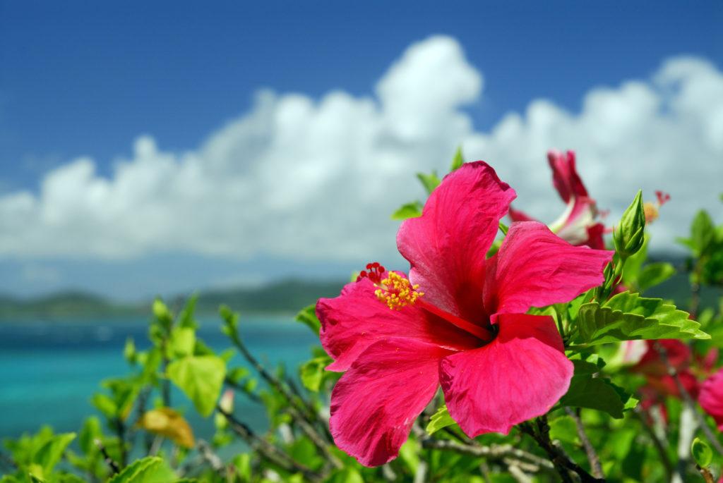 hibiscus flower beach seaside ocean views Caribbean tropical island